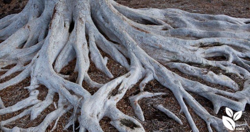 Wortels bomen