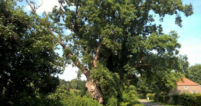 Veteraanboom